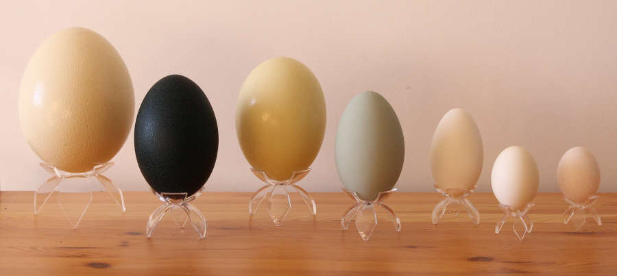 aam raw eggshells from parakeet eggshell to ostrich. Black Bedroom Furniture Sets. Home Design Ideas